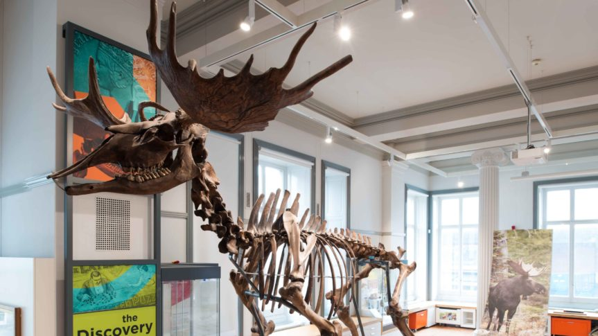The Ice Age elk skeleton on display in the Discover Preston gallery